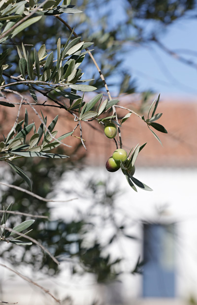 olive tree detail