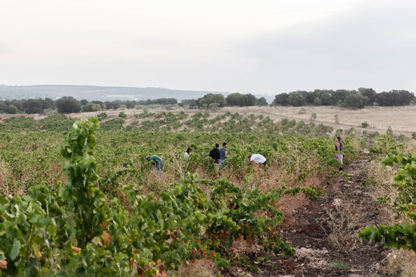 Grape Harvest 2019